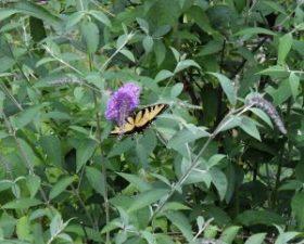 butterfly_9911