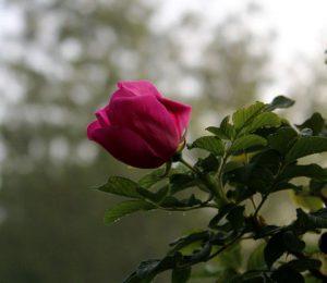 rose_6149_sm
